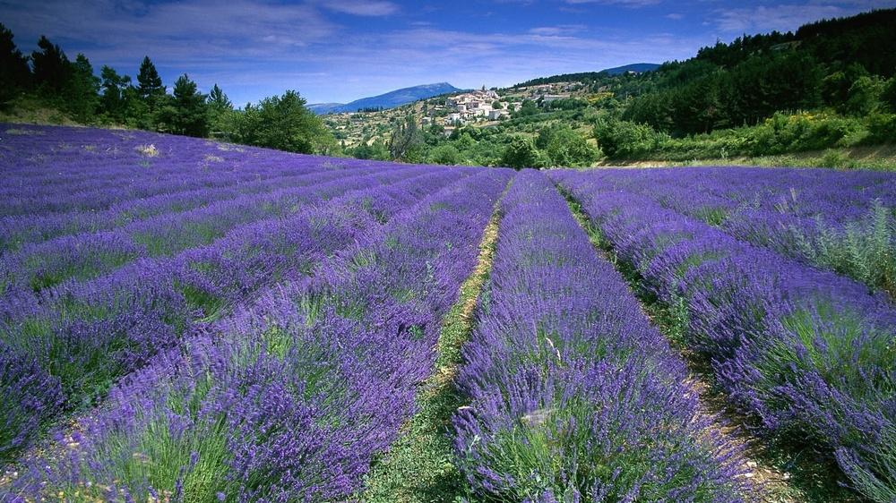 Лавандовое поле, Прованс, Франция